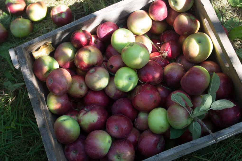 Apple picking and Quebec fall21