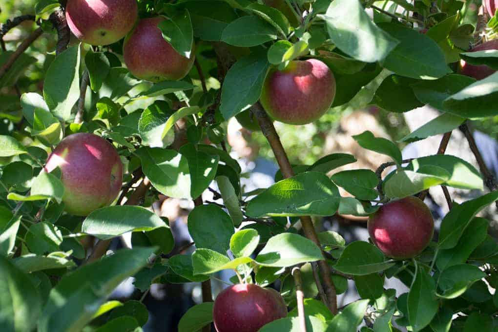 Apple picking and Quebec fall4