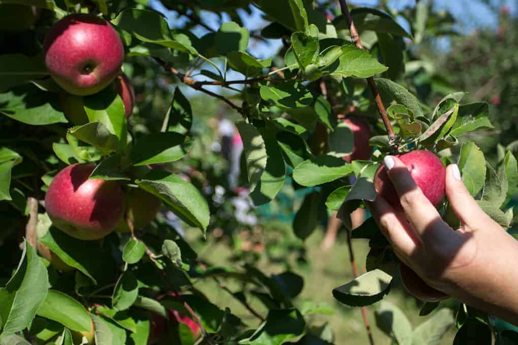 Apple picking and Quebec fall5