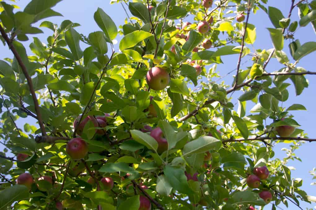 Apple picking and Quebec fall9